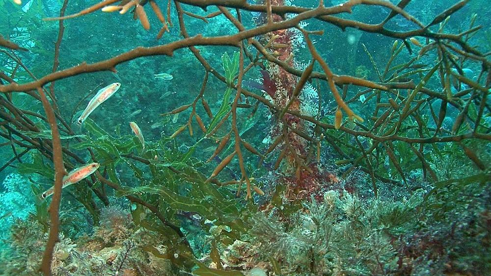 little fish in kelp. Channel Islands, British waters - 958-561