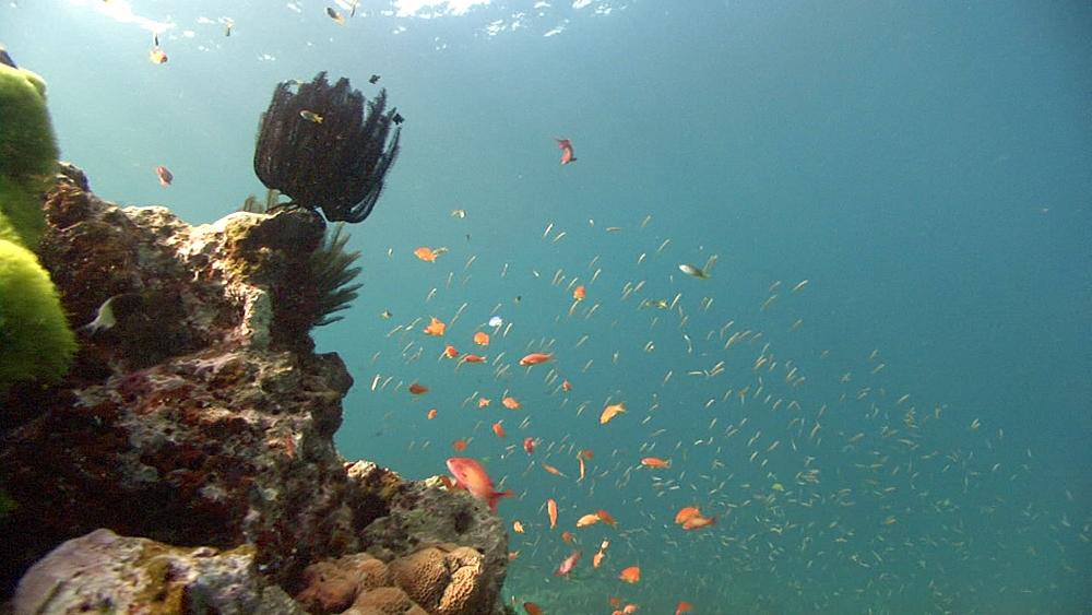 Anthius fish. Thailand - 958-653