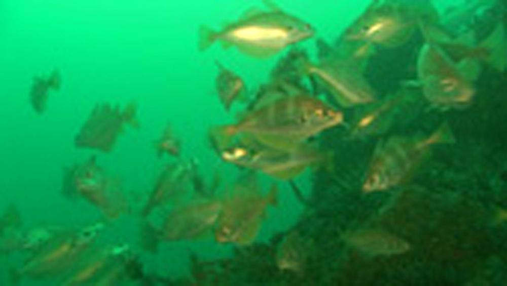Bib fish.  Channel Islands, British waters - 958-683