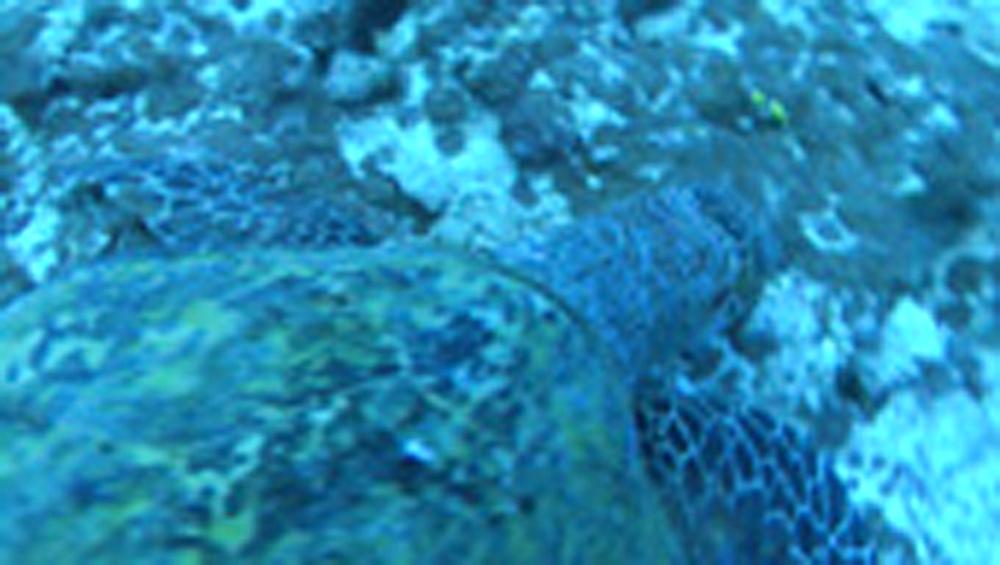 Green tutle. Maldives, Indian Ocean - 958-715