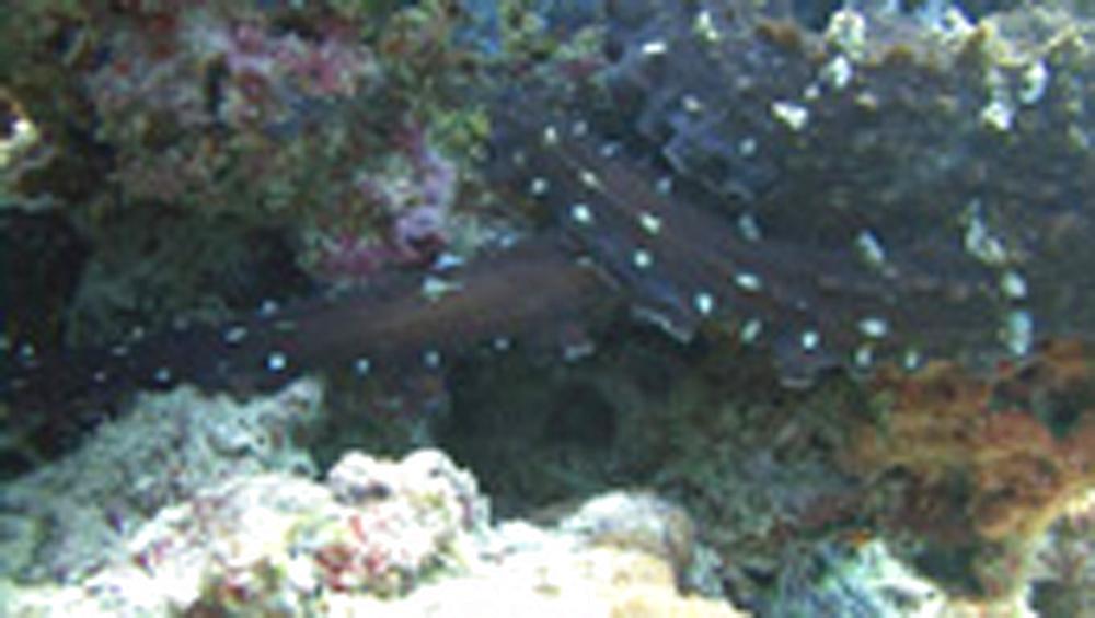 octopus 8 tentacle. Maldives, Indian Ocean - 958-727