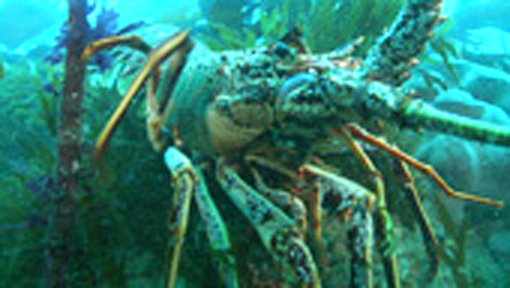 Lobster backs up reef. Channel Islands, British waters - 958-749