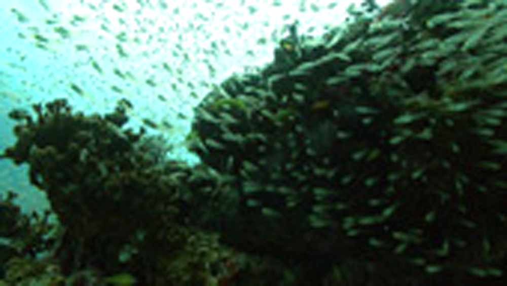 bait ball against reef. Thailand - 958-761