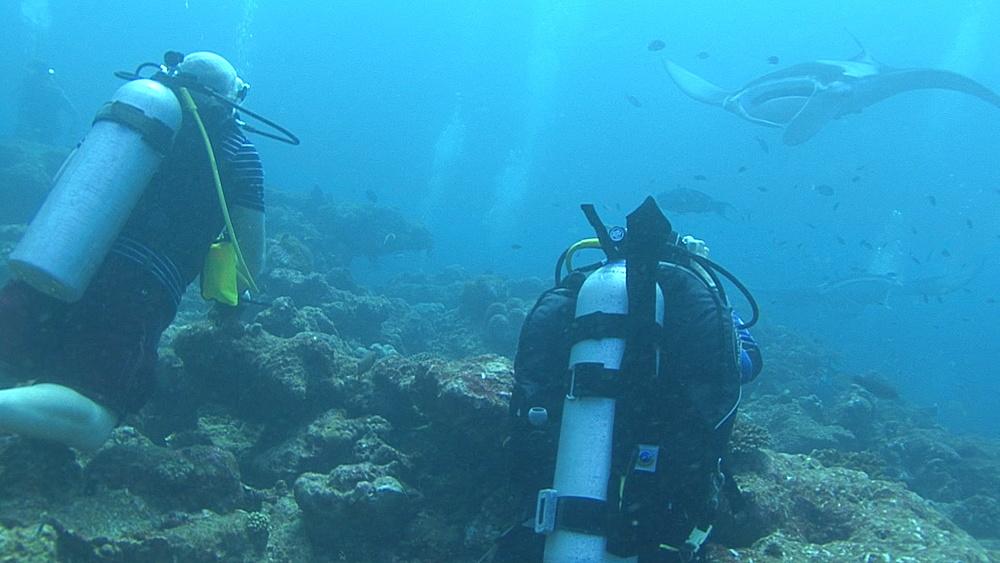 Manta ray (Manta biristris) divers watchiing, Indian Ocean, Maldives - 958-796