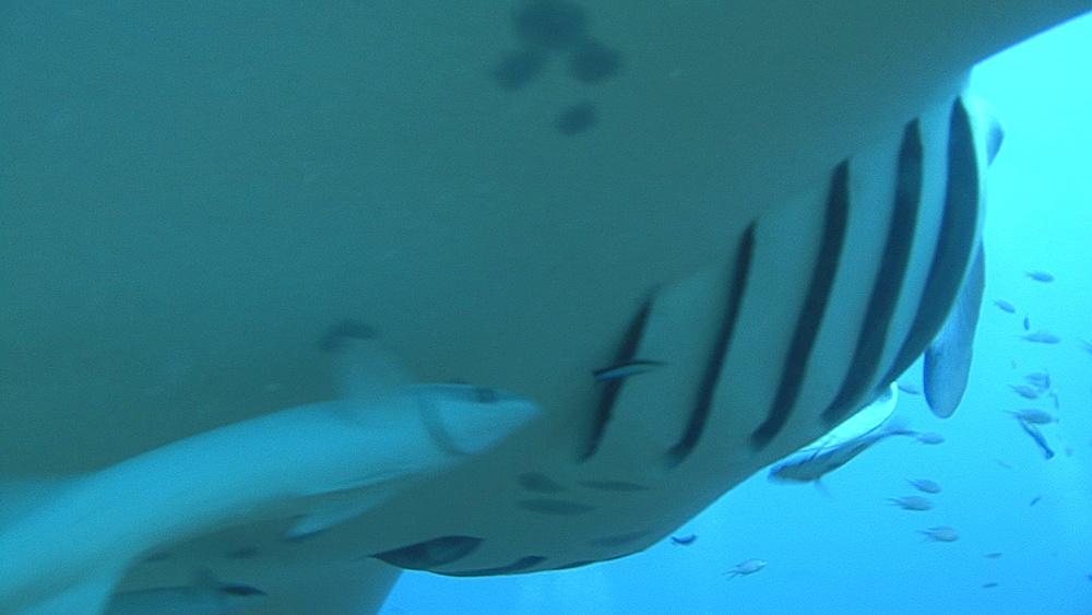 Manta ray (Manta biristris) BCUof remores, Indian Ocean, Maldives