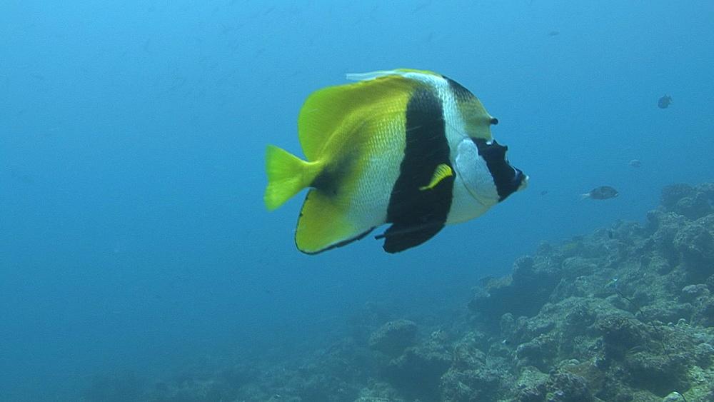 banner fish (Heniochus monoceros)CU over reef, Indian ocean, Maldives - 958-821