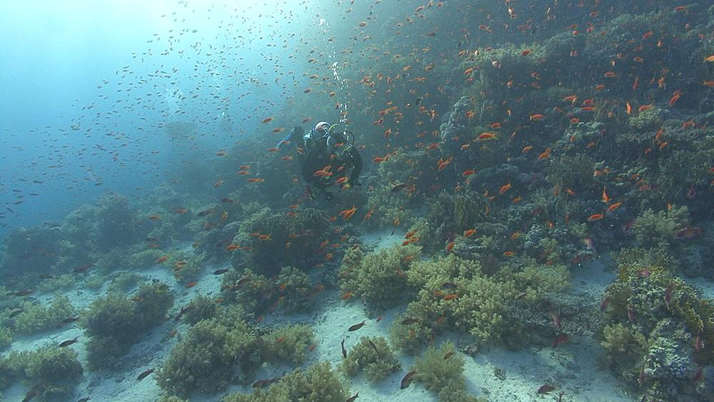 diver swims through thousands of anthius (Pseudanthius squampinnis), Red sea, Egypt - 958-885