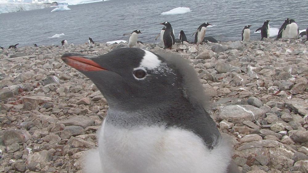 Gentoo penguin (pygoscelis papua) moulting BCU, Cuverville, Antarctica