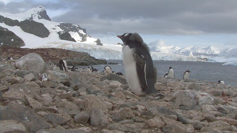 gentoo penguin chick (Pygoscelis papua)  still molting, stands on rocks, Cuverville, Antarctic peninsula