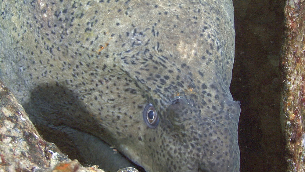 Giant moray (Gymnothorax javanicus) on small wreck, head detail BCU, Red sea, Egypt