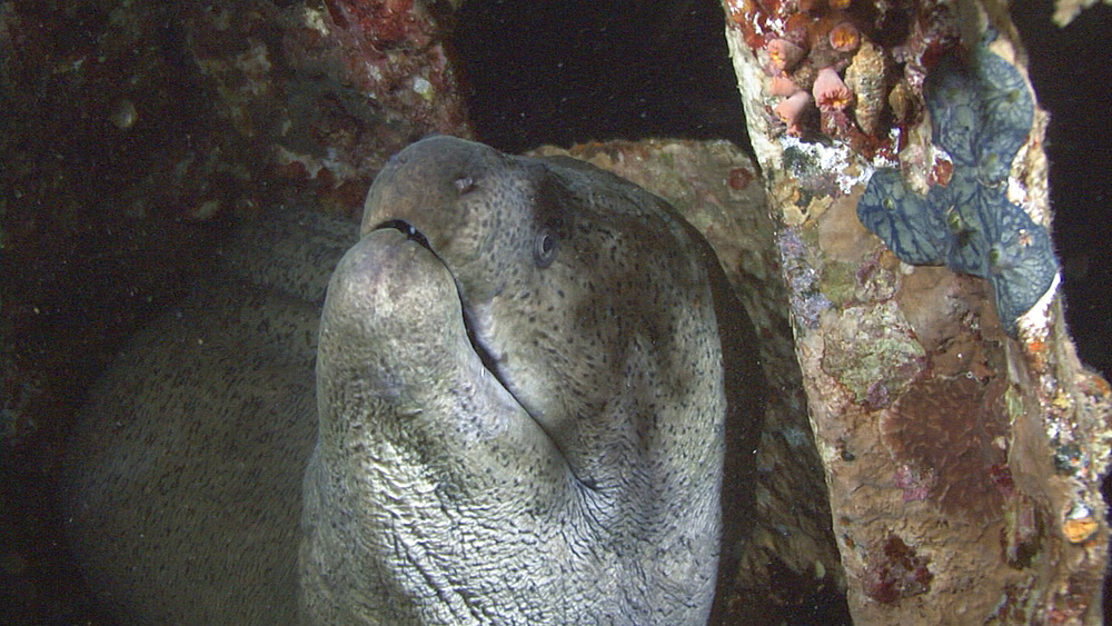 Giant moray (Gymnothorax javanicus) on small wreck, head detail, Red sea, Egypt