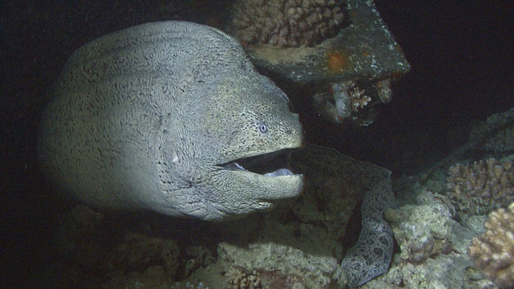 Giant moray (Gymnothorax javanicus) on small wreck, Red sea, Egypt