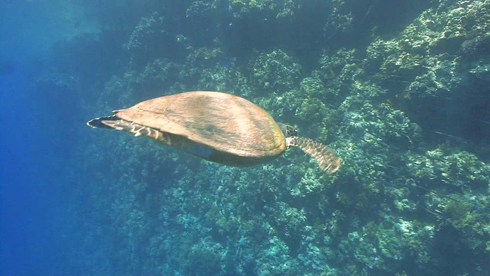 Hawksbill turtle (Eretmochelys imbriocota) swims from surface to reef, Red sea, egypt