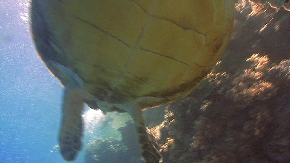 Hawksbill turtle (Eretmochelys imbriocota) swimsover head to photographers, Red sea, egypt