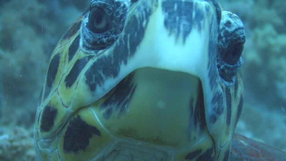 Hawksbill turtle (Eretmochelys imbriocota)BCU eyes face on, Red sea, Egypt