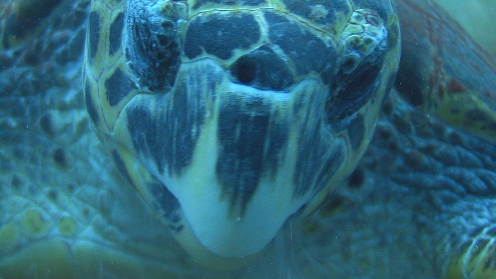 Hawksbill turtle (Eretmochelys imbriocota)BCU feeding, Red sea, Egypt - 958-961