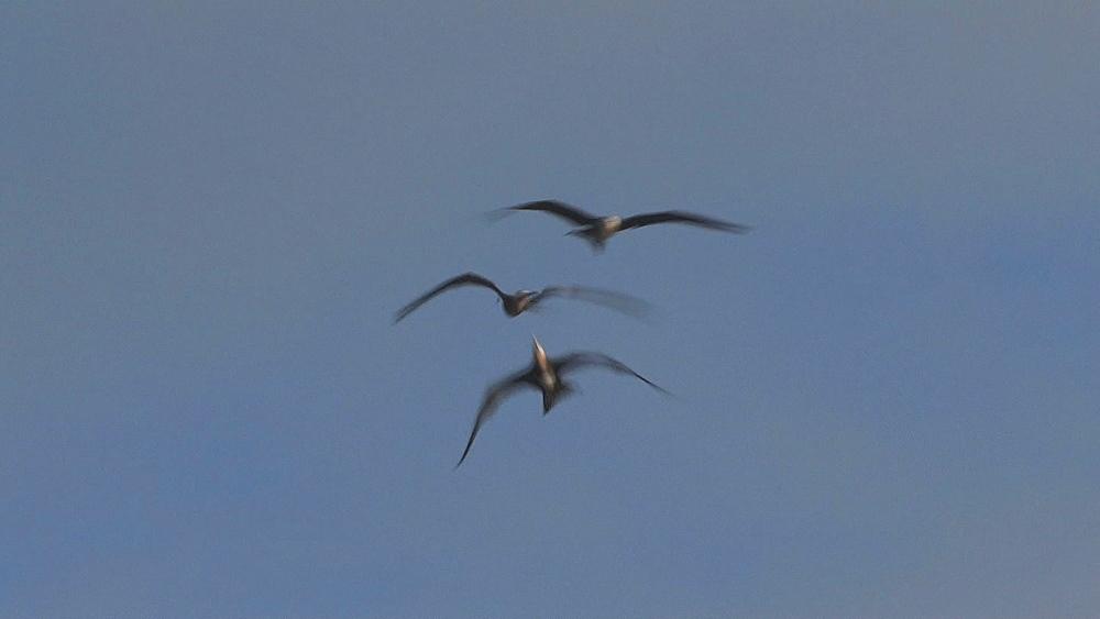 Great Frigate bird (Fregata minor) female or juvenile, in flight. Midway Island. Pacific - 959-109