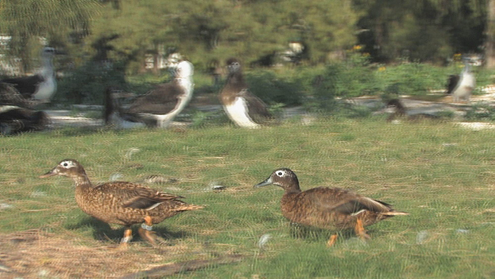 Laysan ducks (Anas laysanensis). Pair walking near Laysan albatross colony. Endangered species. Midway Island. Pacific