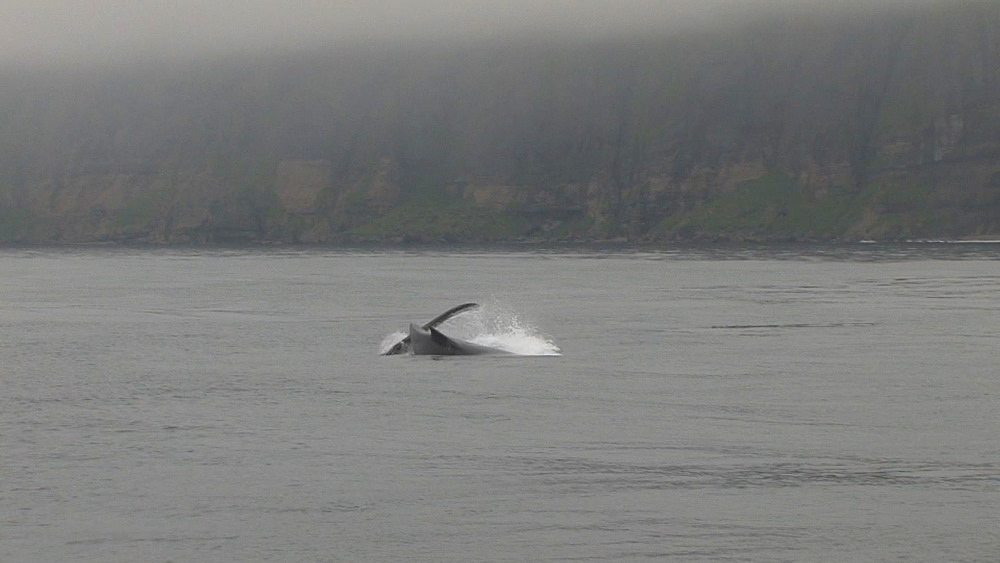 Humpback whales (Megaptera novaeangliae) display at sea surface. Northern Pacific, Aleutian Islands. Alaska - 959-147