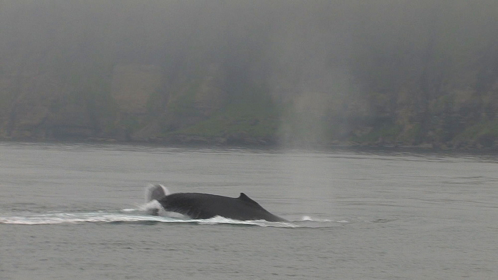 Humpback whales (Megaptera novaeangliae) display at sea surface. Northern Pacific, Aleutian Islands. Alaska