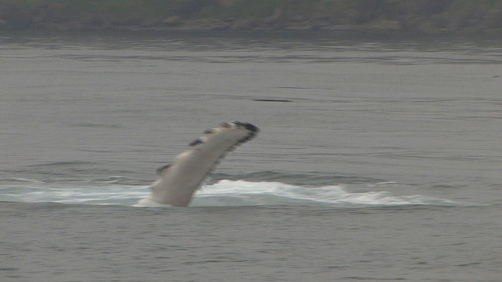 Humpback whale (Megaptera novaeangliae) displays at sea surface. Northern Pacific, Aleutian Islands. Alaska