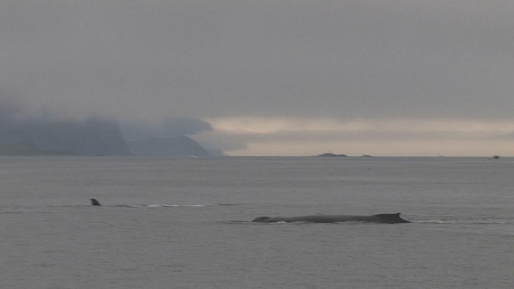 Humpback whales (Megaptera novaeangliae) blow and dive. Northern Pacific, Aleutian Islands. Alaska
