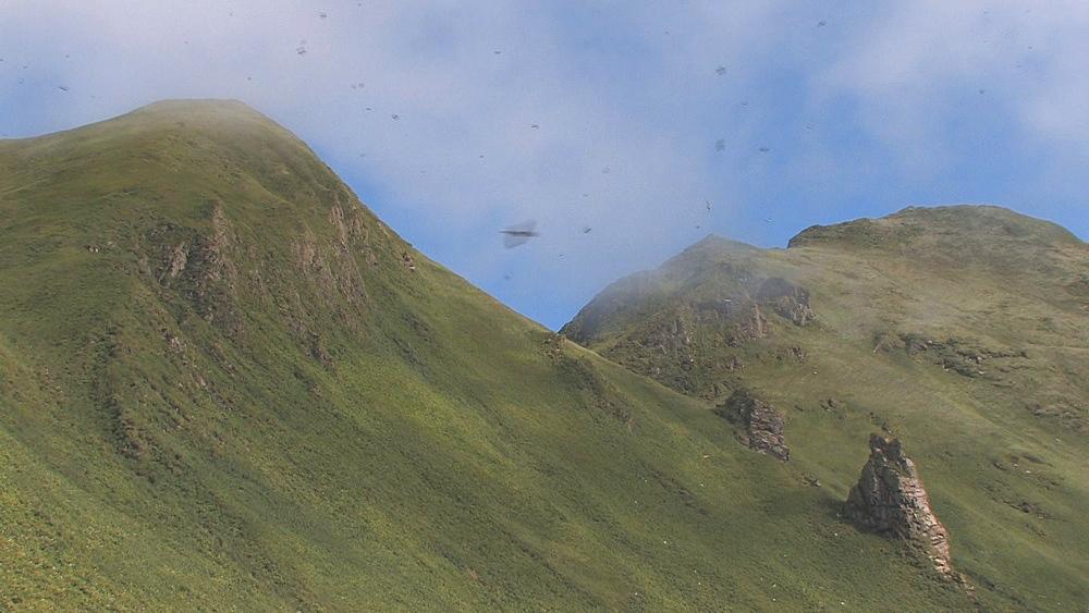 Horned puffins (Fratercula corniculata) fly above breeding site. Northern Pacific, Aleutian Islands. Alaska - 959-155
