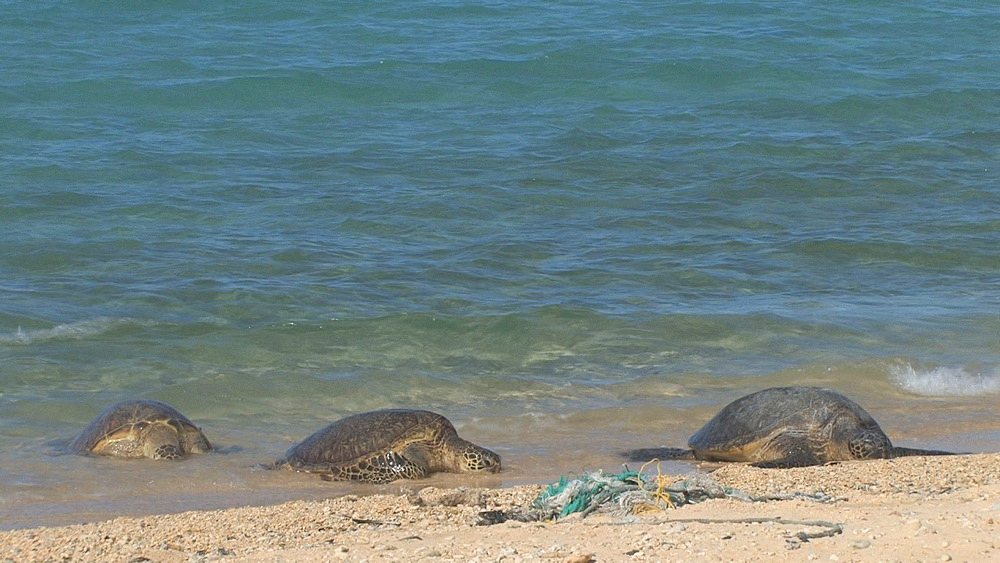 Green sea turtles (Chelonia mydas) on beach near rubbish. Conservation story - rubbish. Midway Island. Pacific