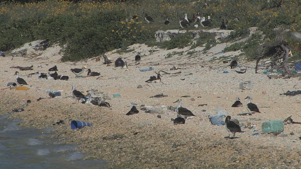 Laysan albatross chicks (Phoebastria immutabilis) on beach near rubbish. Conservation story - rubbish. Midway Island. Pacific
