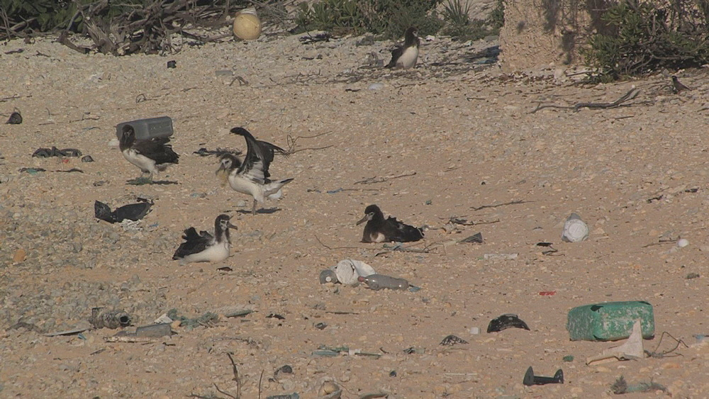 Laysan albatross chicks (Phoebastria immutabilis) on beach near rubbish, one tries to eat plastic. Conservation story - rubbish. Midway Island. Pacific
