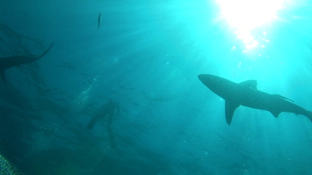 Sharks (currently unidentified) circle in ball of sun at surface (with swimmer at surface). Aliwal Shoal, South Africa - 978-517