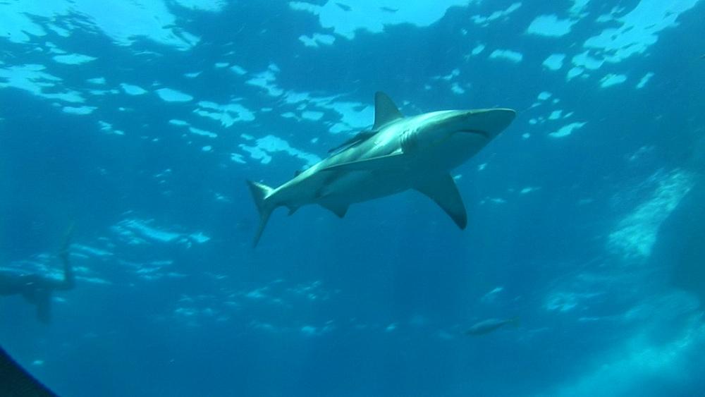Blacktip reef sharks (Carcharhinus melanopterus) beneath boat. Aliwal Shoal, South Africa - 978-520