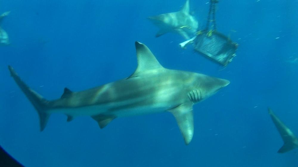 Blacktip reef sharks (Carcharhinus melanopterus) past baiting drum. Aliwal Shoal, South Africa - 978-521