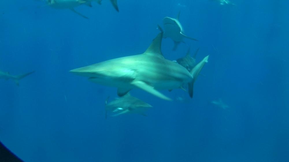 Blacktip reef sharks (Carcharhinus melanopterus). Aliwal Shoal, South Africa - 978-522