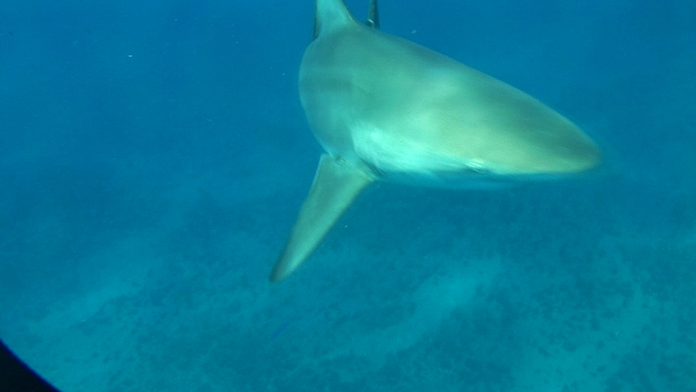 Blacktip reef sharks (Carcharhinus melanopterus). Aliwal Shoal, South Africa - 978-524