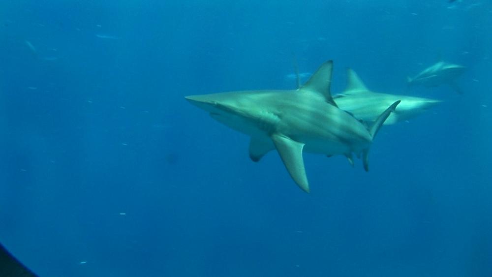 Blacktip reef sharks (Carcharhinus melanopterus). Aliwal Shoal, South Africa - 978-525