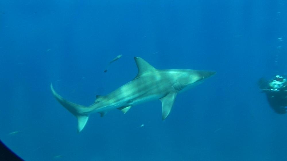 Blacktip reef shark (Carcharhinus melanopterus) past diver. Aliwal Shoal, South Africa - 978-526