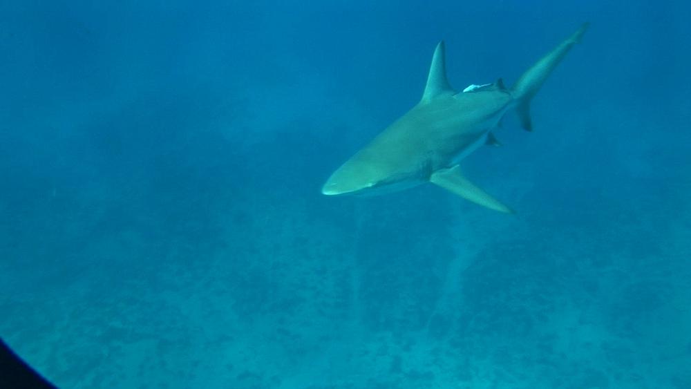Blacktip reef shark (Carcharhinus melanopterus). Aliwal Shoal, South Africa - 978-527