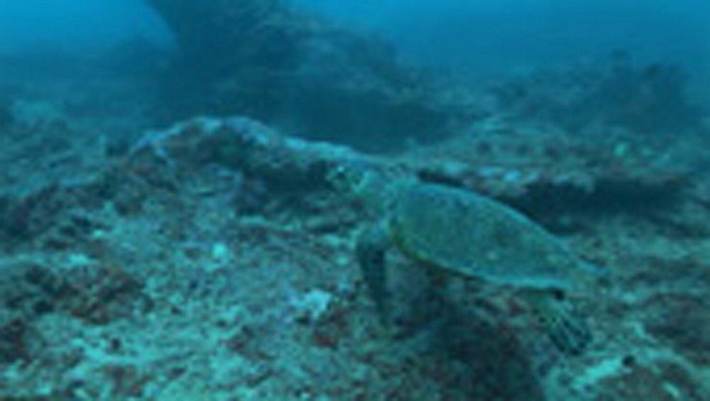 Hawksbill turtle, Eretmochelys imbricata, on reef. Palau, Pacific