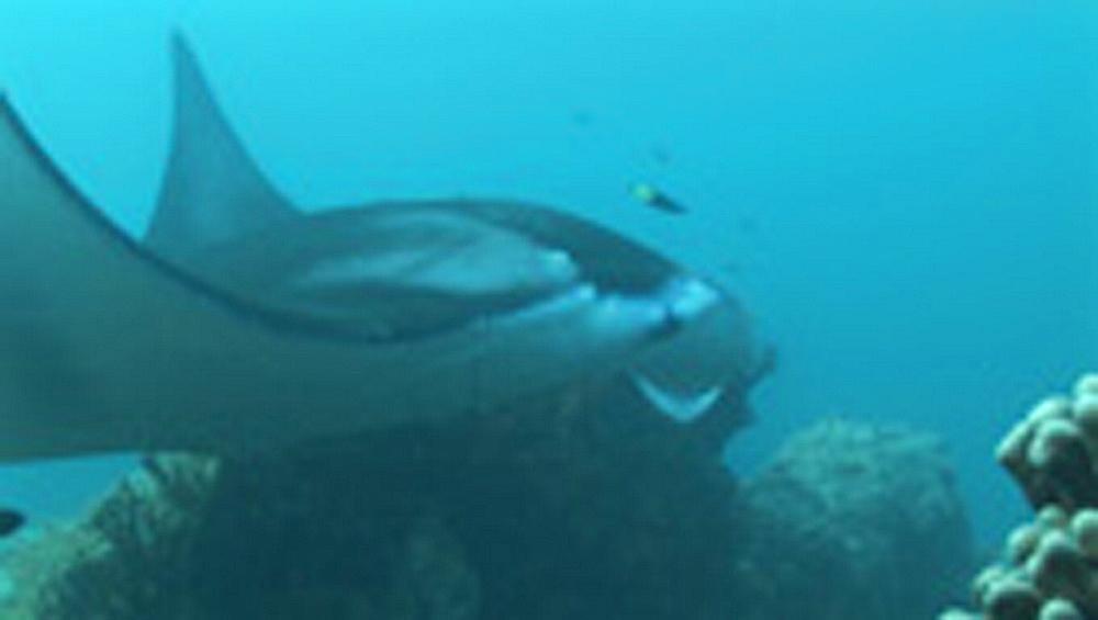 Manta ray, Manta birostris, over coral. Yap Island, Pacific - 981-120