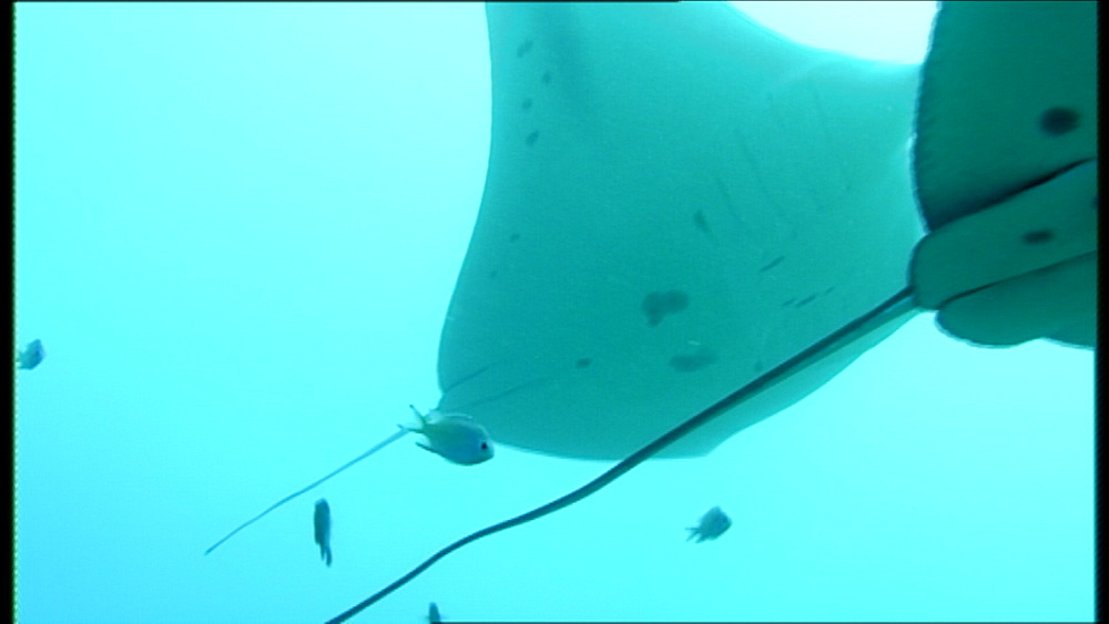 Manta rays (Manta birostris) pair clear frame with cleaning fish looking on.  Palau, Western Pacific
