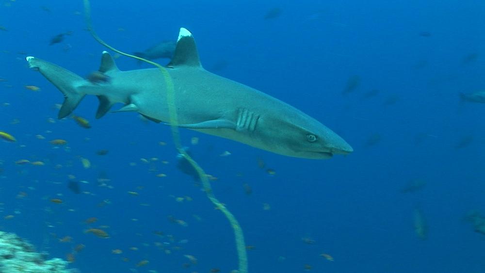 Reef whitetip shark (Triaenodon obesus) circles reef edge. Palau, Western Pacific - 981-293