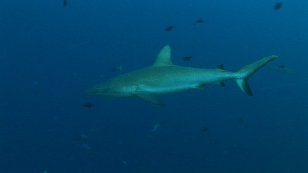 Reef whitetip sharks (Triaenodon obesus) circling reef edge. Palau, Western Pacific - 981-301