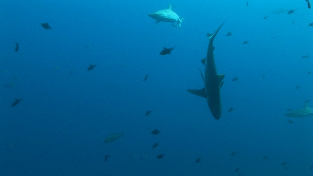 Reef whitetip sharks (Triaenodon obesus) circling then one twitches and briefly points head down. Palau, Western Pacific