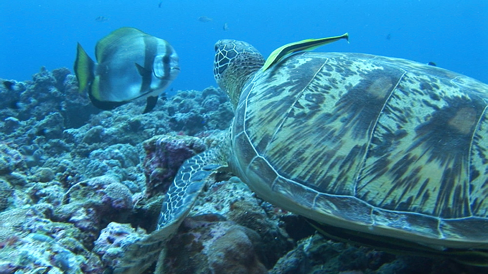 Green turtle (Chelonia mydas) moves off from sea floor. Palau, Western Pacific - 981-318