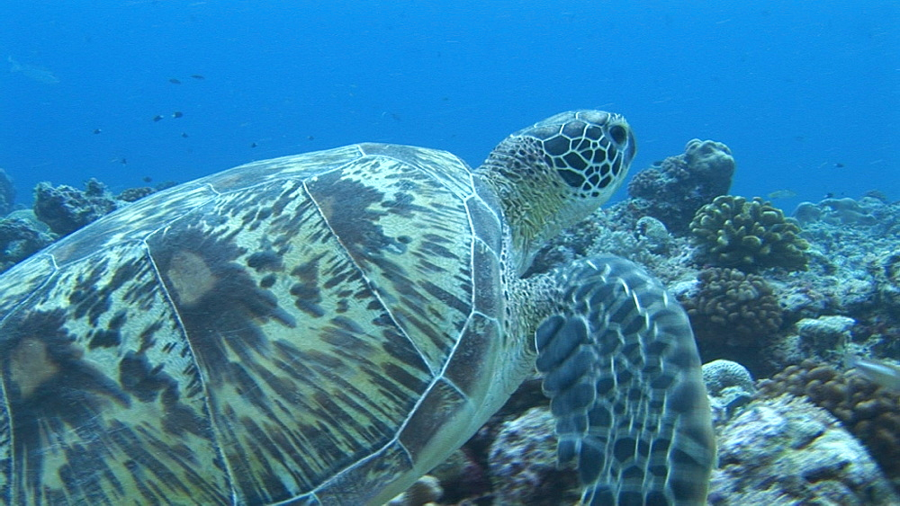 Green turtle (Chelonia mydas) tracking with it as it swims. Palau, Western Pacific