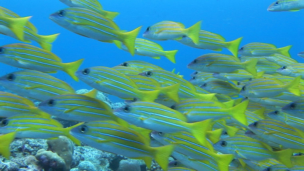 Four-lined snapper (Lutjanus kasmira) shoal over corals.  Palau, Western Pacific - 981-321