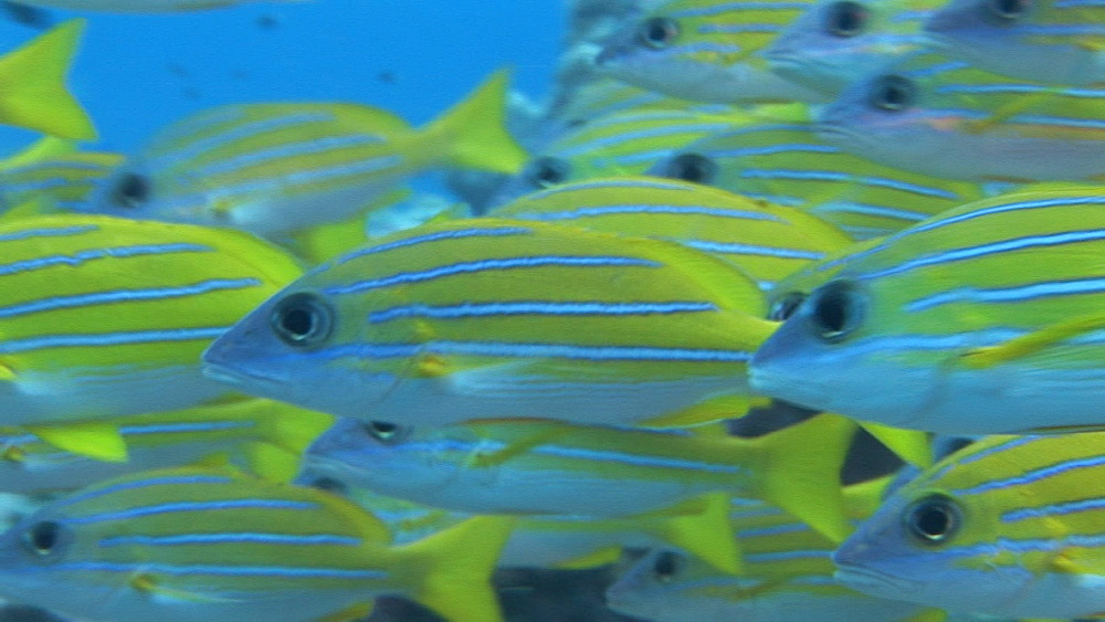 Four-lined snapper (Lutjanus kasmira) shoal over corals.  Palau, Western Pacific - 981-322