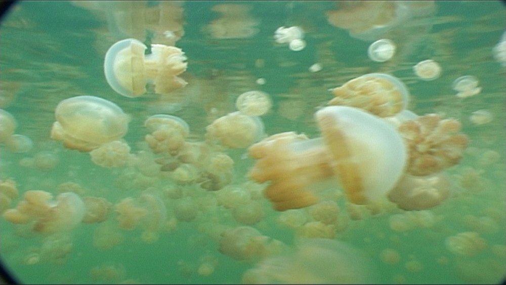 Jellyfish, Matgias sp.  tracking through masses.   Jellyfish lake, Palau, Western Pacific - 981-335