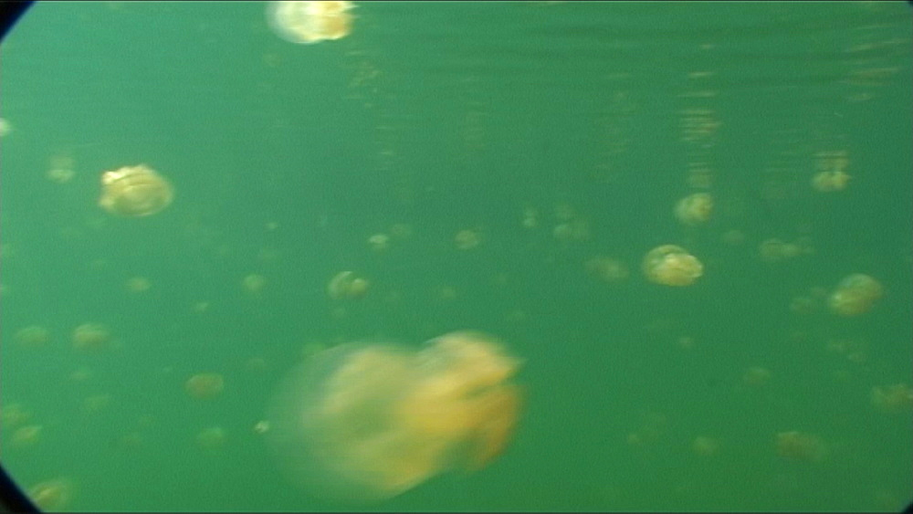 Jellyfish, Matgias sp.  tracking through masses.   Jellyfish lake, Palau, Western Pacific - 981-344